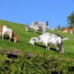Пастбище для коз на крыше ресторана